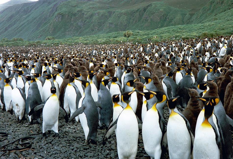 Остров Маккуори находится примерно посередине между Тасманией и Антарктикой, и поэтому идеально подходит для австралийских ученых. 20 исследователей, живущих здесь вместе со своим оборудованием, и составляют все население острова.