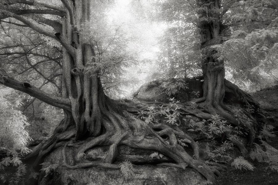 Едва ли существует лучший способ сохранить память об этих монументальных деревьях, многих из которых до сих пор находятся под угрозой уничтожения, чем сделать их портреты и показать их как можно большему количеству людей.