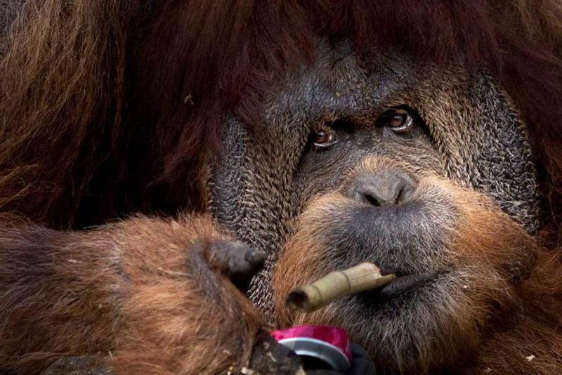 45-летний суматранский орангутан Мушон играет с куском бамбука и жестяной банкой в Зоологическом центре Тель-Авива в Израиле. 23 марта 2014.