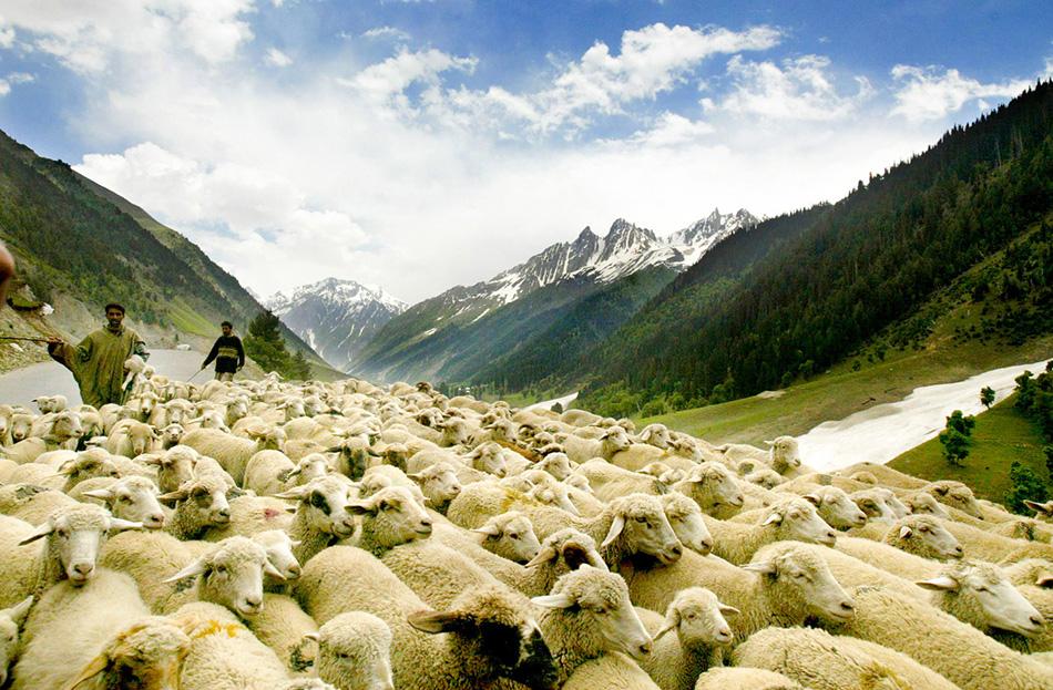 Пастухи гонят стадо овец неподалеку от города Сринагара. Тысячи кочевников из окрестных территорий передвигаются по Кашмиру вместе со своими животными.