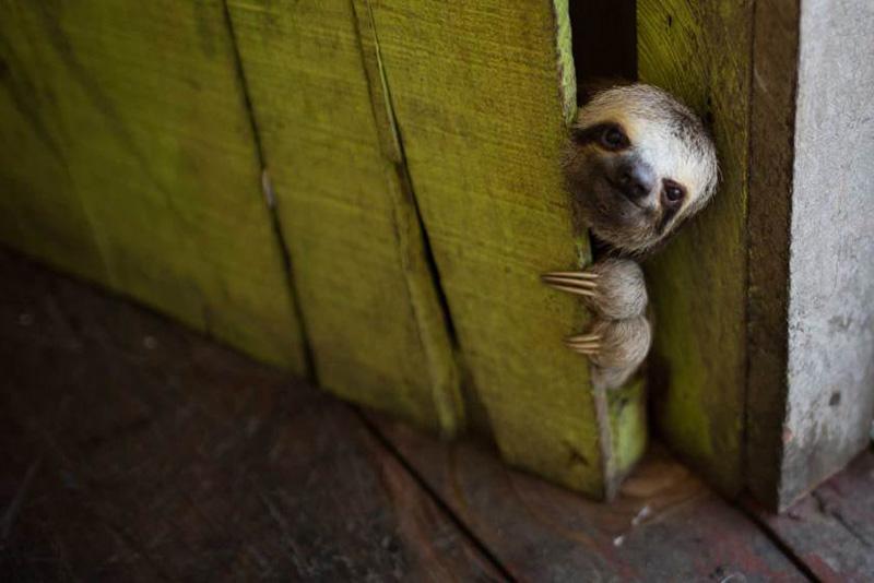 Маленький ленивец выглядывает из-за двери дома неподалеку от бразильского города Манаус. 20 мая 2014.