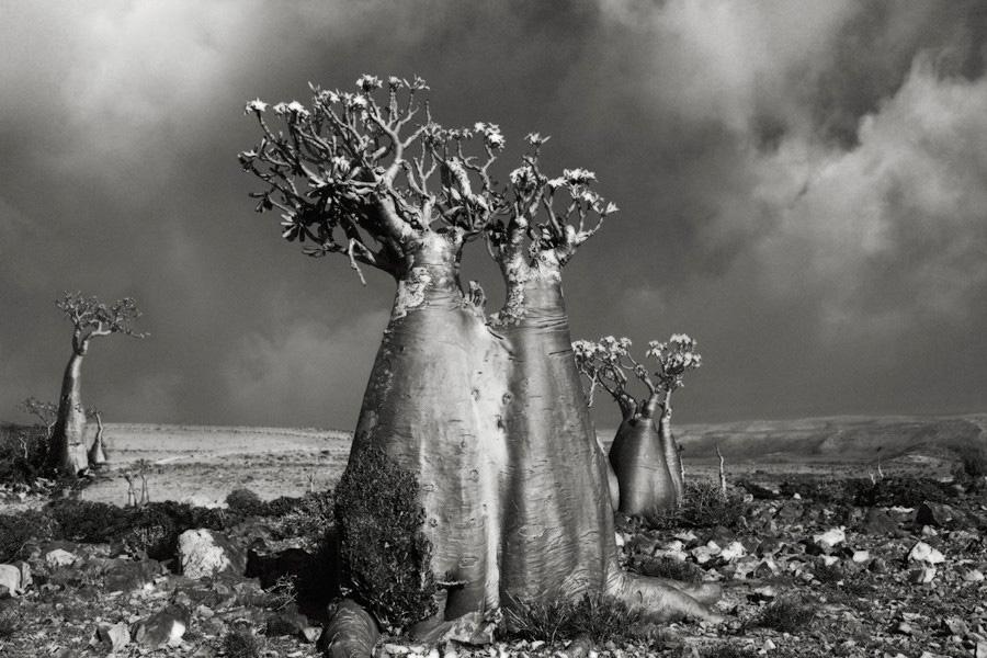 Бет Мун выбирает деревья по трем критериям: возраст, размер и история. При помощи исторических книг, ботанических справочников, специальных регистров и газетных статей она выискивает деревья-долгожители на горных склонах, частных и охраняемых территориях.