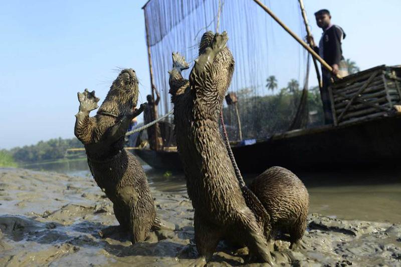 Рыбак из города Нараил в Бангладеше тренирует своих выдр для ловли рыбы. 11 марта 2014.