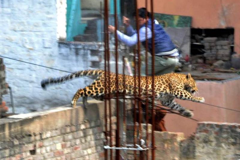 Леопард прыгает по стройке неподалеку от мебельного рынка в индийском Мератхе. 23 февраля 2014.
