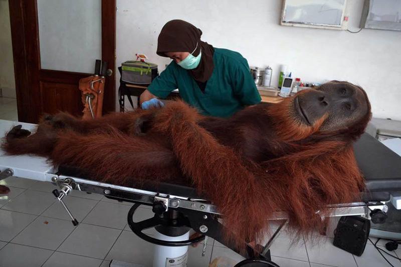 Ветеринар из центра по уходу за орангутанами на севере острова Суматра в Индонезии берет анализы одной из обезьян, которую нашли со следами от выстрелов из пневматического оружия. 16 апреля 2014.