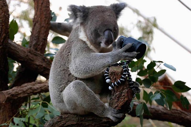 Коала с врожденным дефектом глаза сидит на дереве с Сиднейском зоопарке в Австралии. 3 апреля 2014.