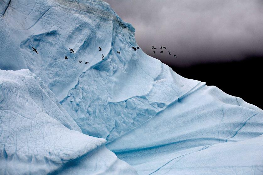 Чайки на фоне айсберга, Восточная Гренландия, август 2006.