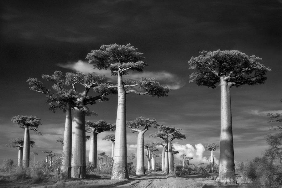 Знаменитая Аллея Баобабов на западе Мадагаскара. Эта дорога, окруженная со всех сторон гигантскими баобабами — пожалуй, одно из самых известных мест произрастания баобабов в мире и самое посещаемое место в регионе. Деревья, которым примерно по 800 лет — наследие тропических лесов, когда-то бурно произраставших в этой местности.