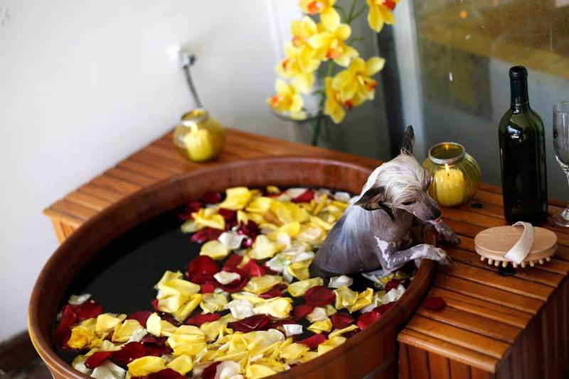 Китайская Хохлатая собака принимает ванну в салоне красоты для животных в бразильском Сан-Паулу. 27 марта 2014.