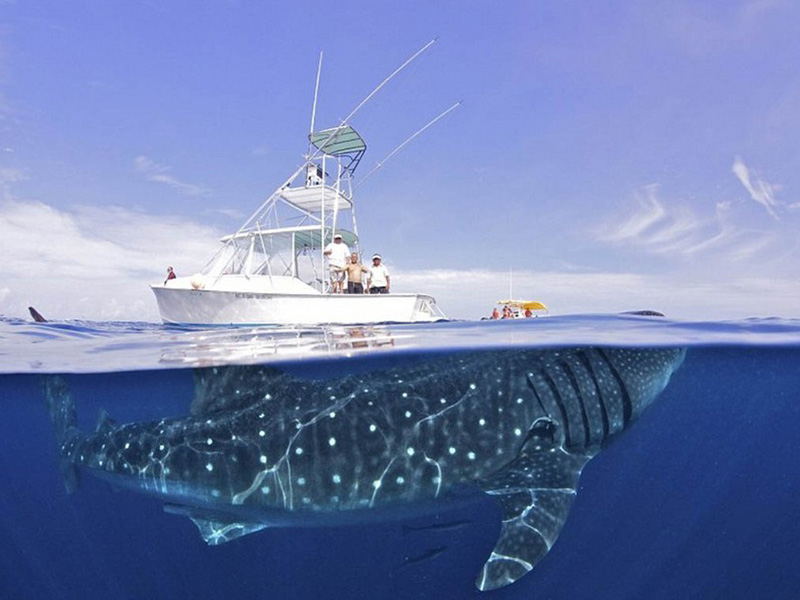 Китовая акула — крупнейшая из всех существующих видов акул, а также крупнейшая из современных рыб.