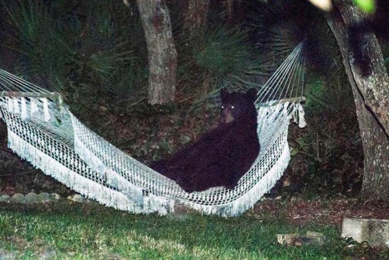 Медведь пробрался на задний двор одного из домов в Дейтона Бич в американском штате Флорида и лег в гамак. 30 мая 2014.
