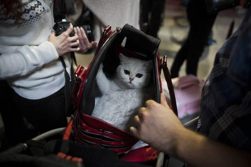 Кошка в специальной переносной сумке на Мировой выставке кошек в Праге. 25 октября 2014.