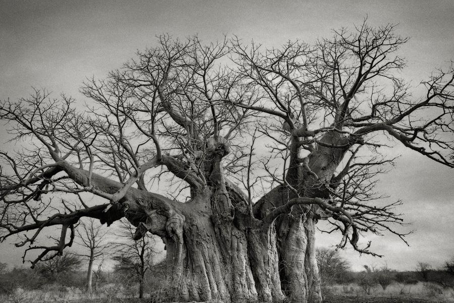 Некоторые виды деревьев существуют всего в нескольких уголках планеты, и находящийся под угрозой исчезновения баобаб — один из них. Как правило, его можно найти на острове Мадагаскар.