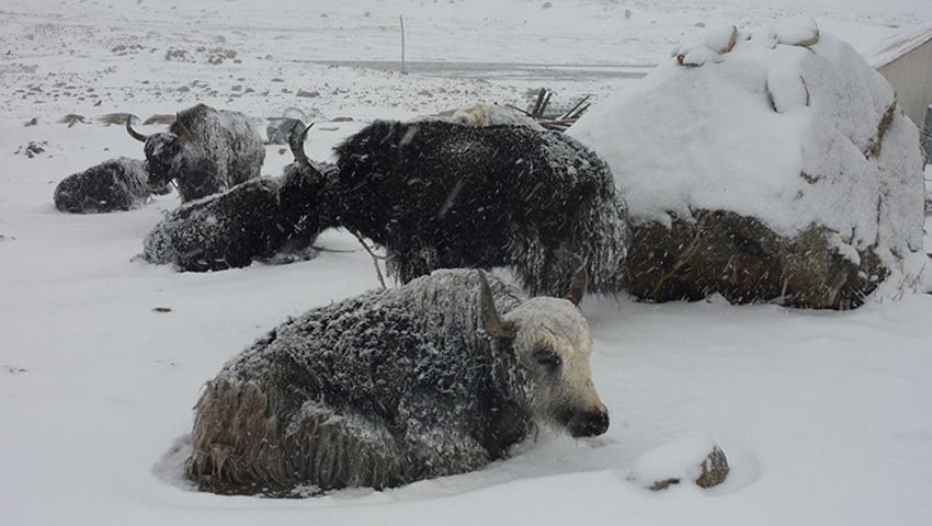 Лхюндзе, Тибет 2008 — 182 сантиметра снега Несмотря на то, что Тибет — место, где довольно прохладно из-за высоты, обычно здесь не выпадает много снега. Но 2008 год стал исключением — местные жители были шокированы, когда снегопад не прекращался на протяжении 36 часов, завалив некоторые районы слоем снега толщиной до 180 сантиметров. Средняя толщина покрова составляла 150 сантиметров. Многие здания не выдерживали такого снежного напора, дороги не функционировали, а 7 человек погибло. Многим приходилось даже забивать своих домашних животных, чтобы поесть.