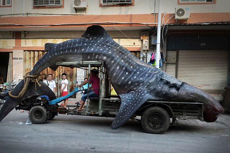 Рыбак в китайской провинции Янцзы перевозит попавшую к нему в сети китовую акулу. 1 августа 2014.