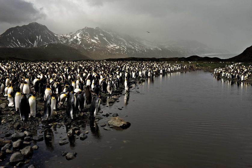 Королевские пингвины изЮжной Георгии, Южная Георгия (островная территория Великобритании в Южной Атлантике), март 2010.
