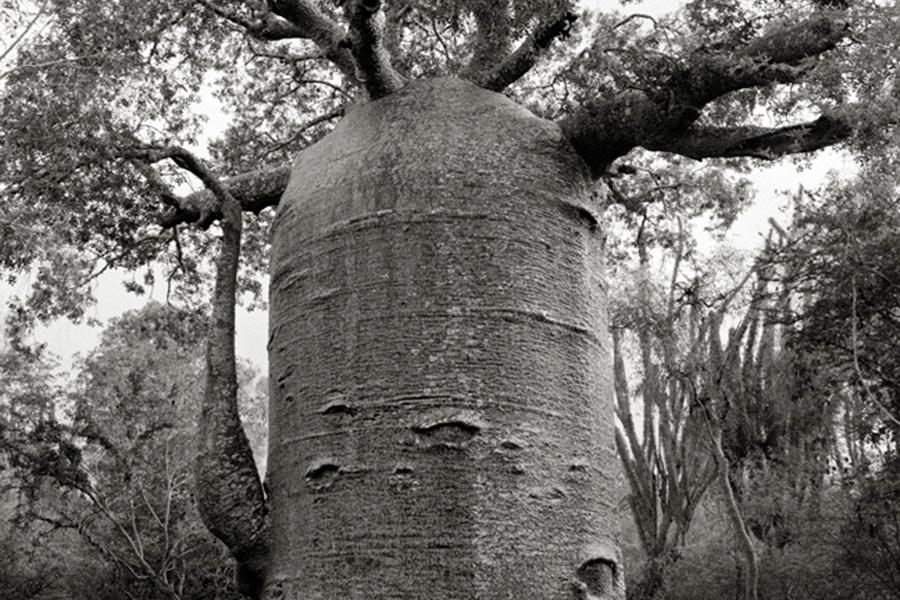 Метод печати, который использует Бет Мун, поее мнению, создает глубинную связь между снимками и деревьями, которые она фотографирует.