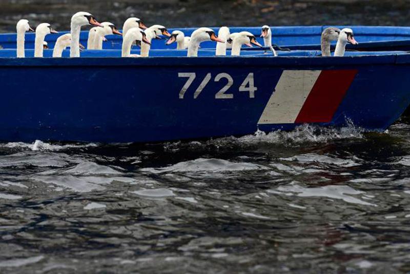 Собранные в гамбургском озере Альстер лебеди сидят в лодке. 18 ноября 2014.