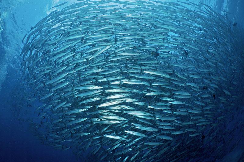 Благодаря сильному течению, изобилующему планктоном, в водах рядом с островом Сипадан плавают тысячи рыб 3000 видов. В природном «аквариуме» можно увидеть, например, спинорогов, тунцов, рыб-попугаев, макрель, а также стаи барракуд, которые по несколько раз в день создают торнадо.