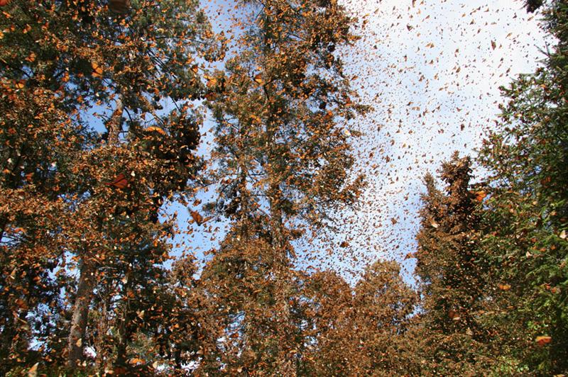 Биосферный заповедник Марипоса-Монарка площадью 56 259 гектаров с ноября по март становится домом до миллиарда особей бабочек монарха. Насекомые слетаются сюда на зимовку из приграничной зоны США. В результате одной из самых сложных миграций животных в мире весь лес покрывается красочным, живым «ковром».