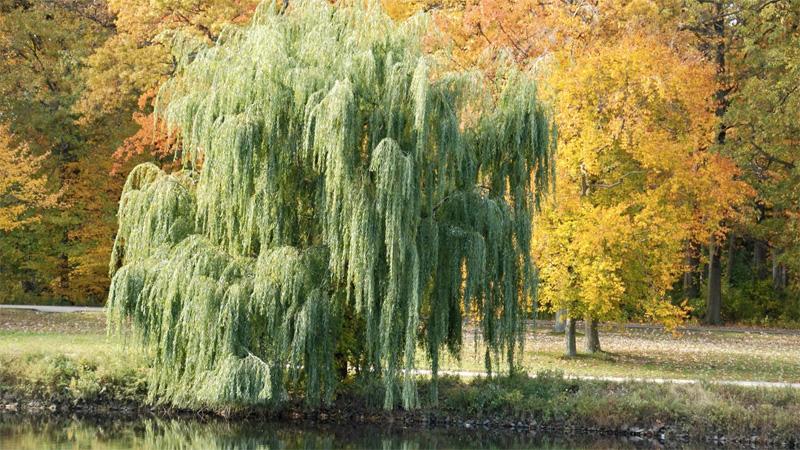 Проверенным годами указателем водных источников, которым пользовались еще на Руси, является верба. Деревянистое растение из рода семейства ивовых любит влажность, поэтому растет в основном в сырых местах.