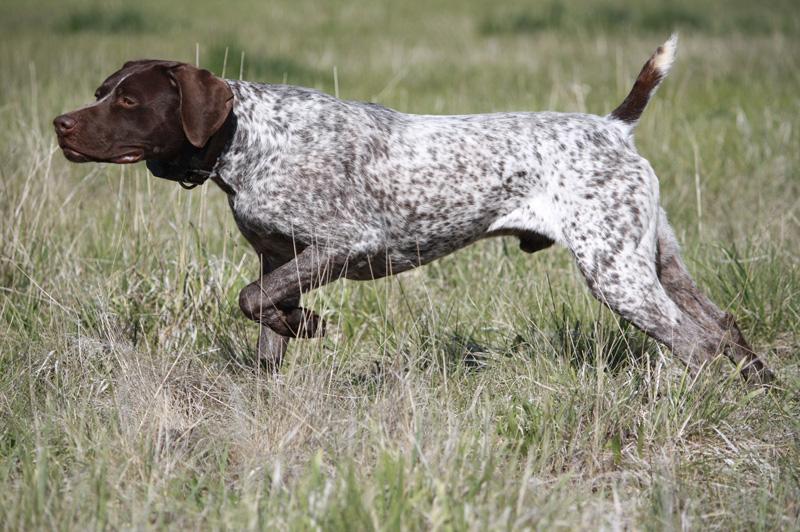 Немецкий короткошерстный пойнтер Охотничья порода с разносторонними способностями: она может работать в поле и в воде. Немецкий короткошерстный пойнтер бесстрашный, преданный и умный. Курцхаары сообразительны и довольно легко поддаются дрессировке. Собака неплохо переносит как высокие, так и низкие температуры.