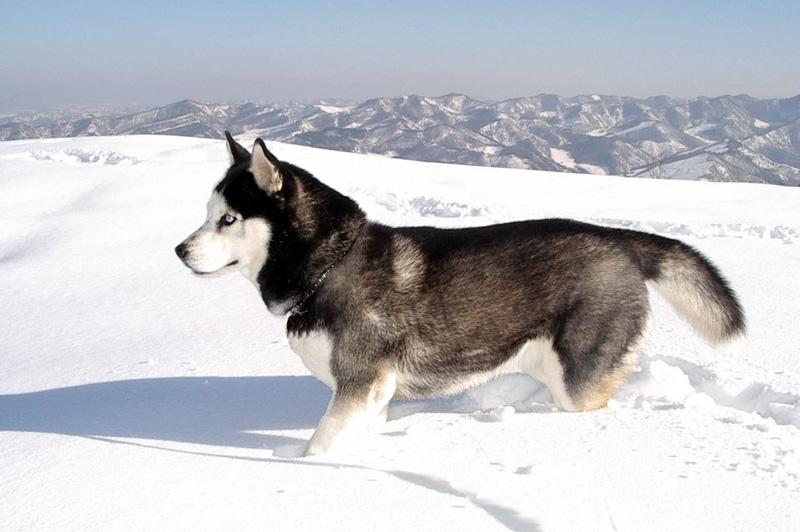 Сибирский хаски Порода чрезвычайно выносливая и приспособленная к жизни на природе. Природная миссия хаски – тащить что-то за собой. Она с удовольствием будет тянуть ваш рюкзак, инвентарь и прочую экипировку, а упряжка из нескольких собак не оставит и вас среди бескрайних снежных просторов.