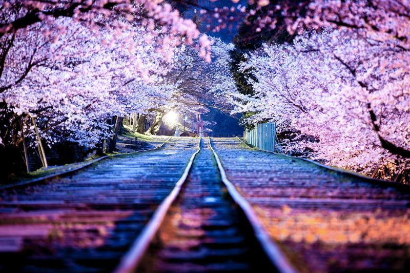 Цветение сакуры японцы сравнивают с красотой и быстротечностью жизни. На период от 7-10 дней сотни деревьев покрываются белыми или бело-розовыми цветками, которые издалека выглядят как парящие розовые облака.