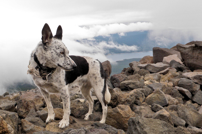 Австралийский хилер Порода берет свое начало от дикой собаки Динго и входит в десятку пород собак с самым высоким уровнем интеллекта. Австралийские хилеры очень крепкие, отличаются отменным здоровьем и выносливостью. Собака любит простор и движение, поэтому может составить вам компанию хоть во время утренней пробежки, хоть в туристическом походе.