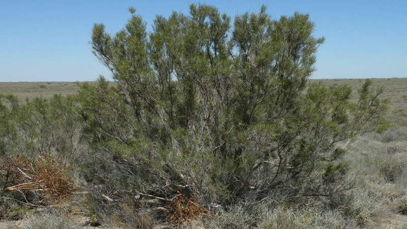 Черный саксаул растет на плотных грунтах, где воды располагаются на глубине 5-10 метров.