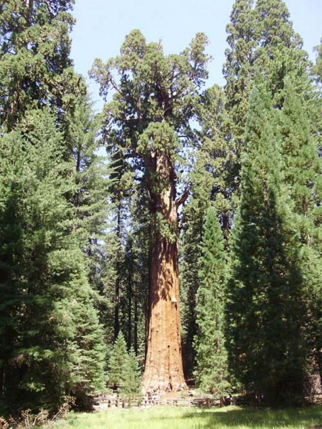 Генерал Шерман Еще один рекордсмен — на этот раз за самый большой объем — 2500-летний Генерал Шерман является крупным и самый тяжёлым неклональным живым организмом на нашей планете и самой могучей из ныне растущих секвой. В 2006 году с него упала самая большая ветвь, сломавшая часть ограждавшего дерево забора и оставившая дыру в пешеходной дорожке рядом. Генерал растет в «Гигантском лесу» Национального парка «Секвойя» в американской Калифорнии, где также можно найти 5 из 10 самых больших деревьев на планете.