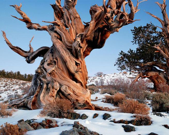 Мафусаил Этой межгорной сосне 4841 год, и это самый старый неклональный организм на Земле. Точное местонахождение Мафусаила держится в секрете, чтобы уберечь его от публики (еще более старое 4900-летнее дерево по имени Прометей было спилено исследователем в 1964 года с разрешения властей США), но вообще дерево растет в Национальном заповеднике Иньо в горах Уайт-Маунтинс в американской Калифорнии. Сегодня люди могу попасть в лес, где оно растет, но должны сами гадать, какое именно из них является Мафусаилом.