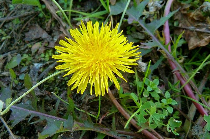 Одуванчик лекарственный Найти одуванчик сможет даже ребенок. Это молодое зеленое растение с большими лепестками посередине на деле является съедобным. Самое вкусное в нем — это цветки. Их нужно сорвать со стеблей и отщипнуть зеленый стебель пальцами так, чтобы не осталось белого сока, потому что он горьковат. Будучи сладкими и довольно сочными, эти дикие цветки в наших широтах растут в изобилии.