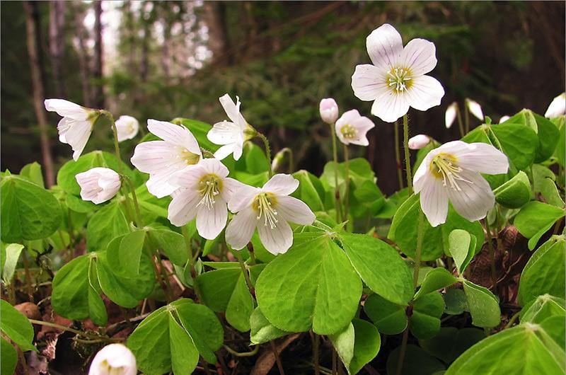 Кислица обыкновенная У кислицы приятный освежающий вкус с небольшой кислинкой. Как правило, цветки кислицы желтые, но порой можно встретить и розоватые. Есть стоит стебель, потому как цветки и листья довольно горькие. Это растение можно найти не только на лугах и полях, но и в дикой природе. Кислица содержит высокий уровень щавелевой кислоты, которая вполне съедобна, но в больших количествах может привести к расстройству пищеварения и желудка.