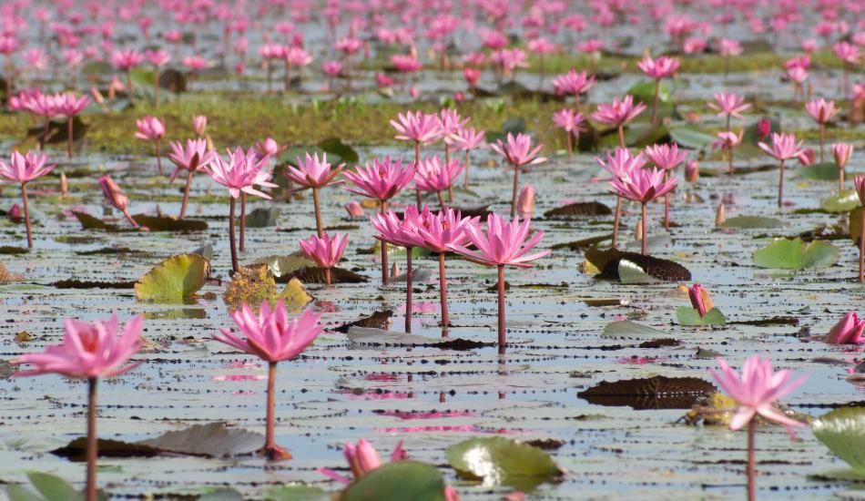 Озеро Нонг Хан, Таиланд Ежегодно здесь расцветают тысячи и тысячи красных лотосов, которые превращают поверхность таиландского озера Нонг Хан в гигантское поле плавучих цветов. Этот водяной сад начинает расцветать в октябре сразу после сезона дождей, а пик цветения приходится на декабрь, когда местные жители отправляются на лодках наслаждаться красотой. Лучше всего созерцать цветущее озеро перед полуднем, когда лотосы максимально раскрываются.