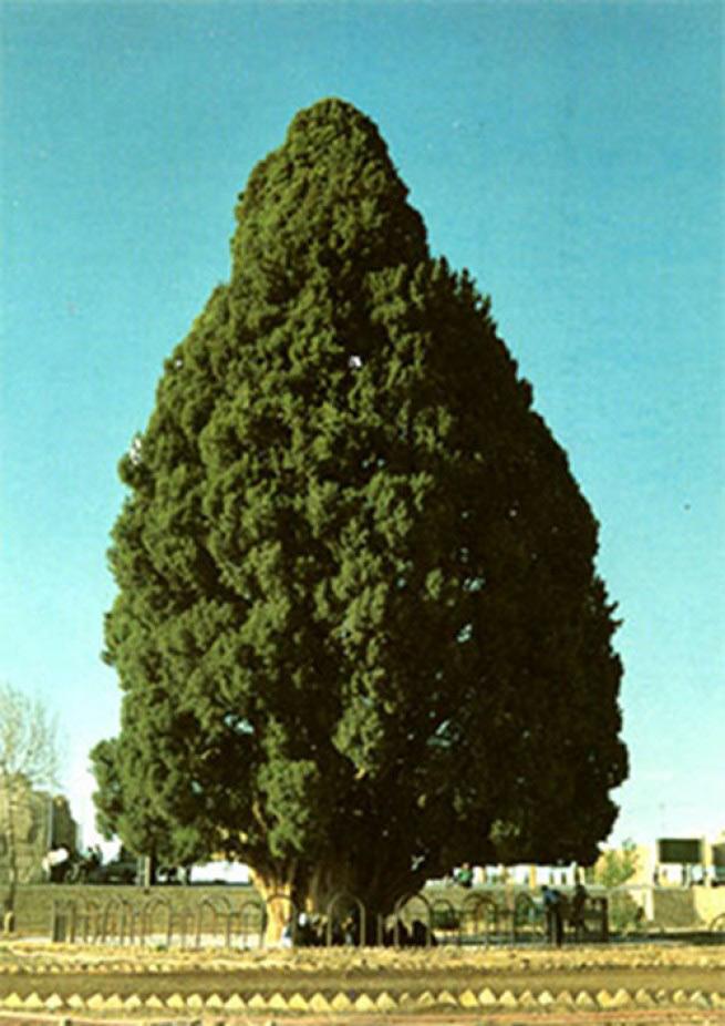 Зороастрийский Сарв Этот могучий средиземноморский кипарис, который также называют Сарв-э Абар-кух, находится в иранском селе Абарку и является национальным достоянием страны. Будучи 25 метров в высоту и 18 метров в обхват, это дерево живет более 4000 лет. Одно время, когда главной религией Персии была авестийская, считалось, будто кипарис посадил сам Заратустра, что неправда, поскольку легендарный жрец оказался моложе дерева на полтора-два тысячелетия.