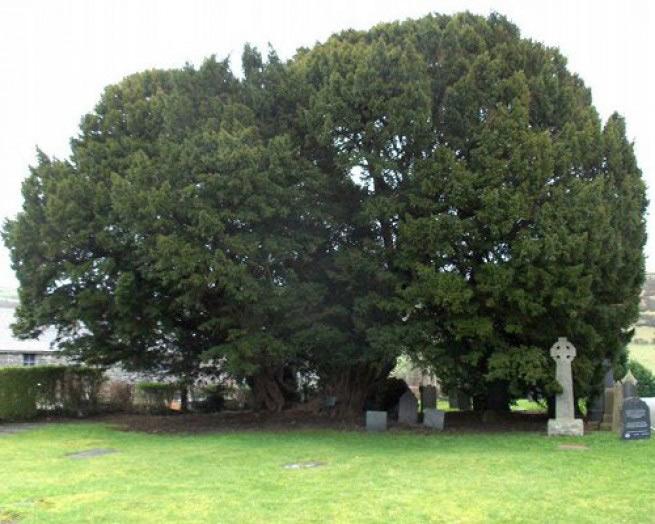 Тис Ллангернив Возраст многих деревьев можно определить лишь с большой долей условности. Тис из деревушки Ллангернив, что в Северном Уэльсе, растет там более 4000 лет. Обхват ствола вполне соотносится с возрастом дерева и составляет целых 11 метров. У местных существует легенда, что на кладбище у церкви Святого Дигайна, которое расположено у подножия старого тиса, обитает древний злой дух, способный налагать проклятия. Его называют «ангел, который все записывает». Однажды некий Шон Ап Роберт якобы решил усомниться в существовании духа, отправился на его поиски под зловещим старым тисом в ночь на Хэллоуин и вскоре умер. Если в этом и есть доля правды, то, возможно, это произошло по причине ядовитости тиса.