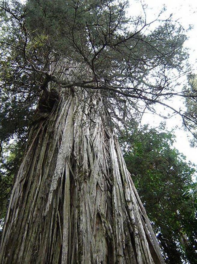 Алерс Алерс — общее название для гигантских кипарисов фицройя, растущих в горах Южной Америки. Сложно установить их возраст, потому что самые старые образцы были выпилены в 19 и 20 веках. Многие ботаники полагают, что это второй по возрасту вид деревьев на Земле после межгорных сосен Северной Америки. Самой старшей из известных фицрой 3640 лет.