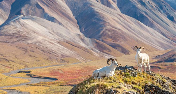 Углубитесь в Денали Если вы готовы к более серьезным испытаниям, советуем отправиться в непроходимую местность Национального парка Денали на Аляске. Добравшись до туда, вы увидите поросшие ивами петляющие реки с небесно-голубой водой и огромные пространства по-настоящему дикой природы.