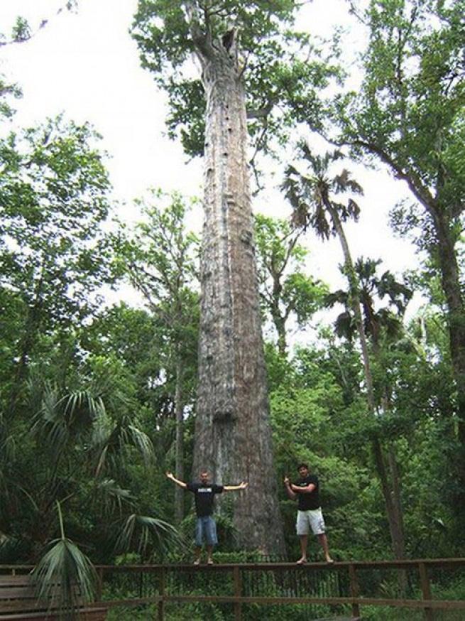 Сенатор Судьба прудового кипариса по имени Сенатор оказалась довольно печальной. Этому 36-метровому дереву, произраставшему на окраине города Лонгвуд в американском штате Флорида, было около 3500 лет, пока в 2012 году одна из местных наркоманок не решила поджечь его изнутри, чтобы «посмотреть, как оно горит». Пожар, потушить который не успели, девушка сняла на телефон. Дерево служило ориентиром еще для древних индейцев, а в прошлом веке пережило несколько сильных ураганов.