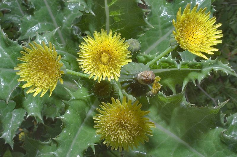 Осот С листьями осота нужно быть достаточно осторожным, как и с листьями одуванчика, чтобы избежать попадания в рот горького сока. Желтые цветки этого растения похожи на цветки одуванчика, но осот вкуснее, хотя и готовится так же, как и одуванчик. У осота прямой стебель и выглядит он как чертополох.