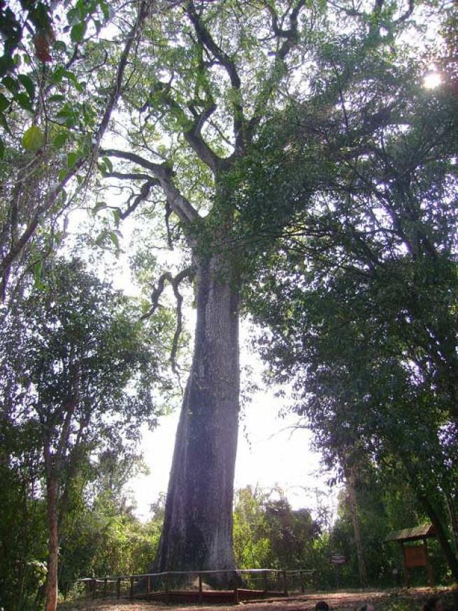 Патриарка-да-Флореста Это дерево вида Cariniana legalis под названием Патриарка-да-Флореста растет в Бразилии, а его возраст насчитывает примерно 3000 лет. Это самое старое нехвойное дерево в стране. Патриарка-да-Флореста считают сакральным, но вообще деревья этого вида активно вырубаются в Бразилии, Колумбии и Венесуэле.