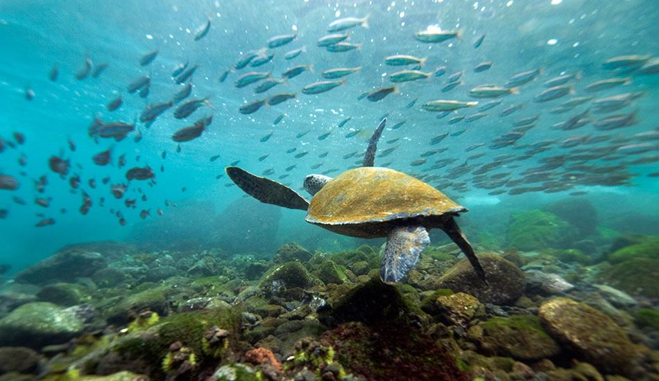Подводный мир Галапагосских островов Чарльз Дарвин едва ли осознавал всю уникальность Галапагосских островов в Тихом океане во время своего 5-летнего путешествия по местным территориям, где тогда базировался Королевский военно-морской флот. Со своими коллегами он открыл сотни новых видов и взял тысячи образцов местной флоры и фауны. Спустя почти два столетия, многообразие жизни как на архипелаге, так и в океанических водах не перестает поражать воображение.