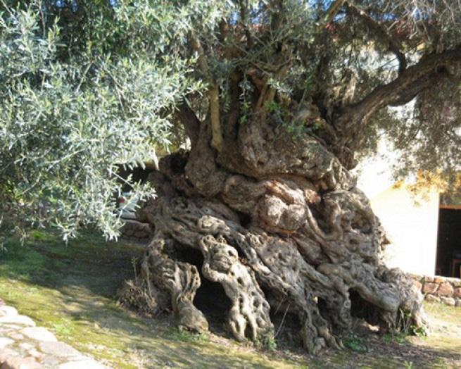 Оливковое дерево Ано Вувес Это древнее оливковое дерево находится на греческом острове Крит и считается одним из семи средиземноморских оливковых деревьев, которым от 2000 до 3000 лет. Хотя установить его точный возраст не представляется возможным, он насчитывает более 3000 лет. На нем по-прежнему растут оливки, причем весьма высокого качества. Оливковые деревья отличаются своей выносливостью и устойчивостью к засухам, пожарам и другим катаклизмам. Вероятно, это и есть одна из причин их долголетия.