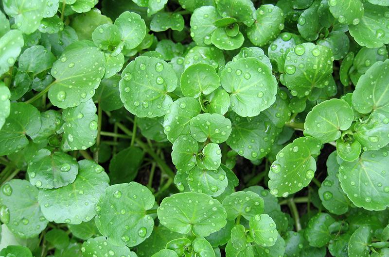 Кресс-салат Это одно из диких растений из семейства крестоцветных, которое обитает в городах. Будучи молодым, кресс-салат имеет нежные листья со вкусом горчицы. Когда растение становится старше, его можно использовать, как листья горчицы.