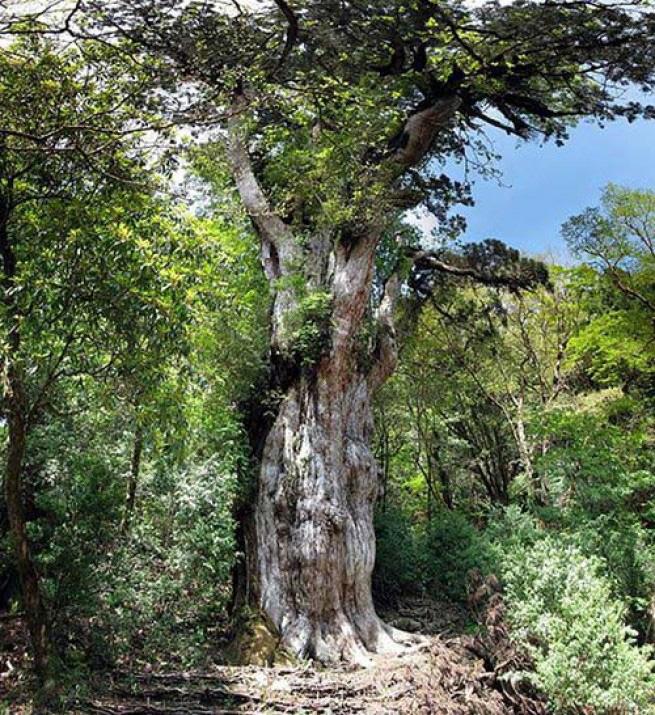 Йомон Суджи Старейший кипарис Йомон Суджи на острове Якусима в Японии — одна из причин, по которой весь остров занесен ЮНЕСКО в Список объектов Всемирного наследия. Дереву больше 2000 лет, хотя некоторые эксперты утверждают, что оно старше 5000 лет. Согласно их теории, Йомон Суджи — самое старое дерево на планете. Независимо от корректности цифр, это дерево обязательно должно присутствовать в данной подборке.
