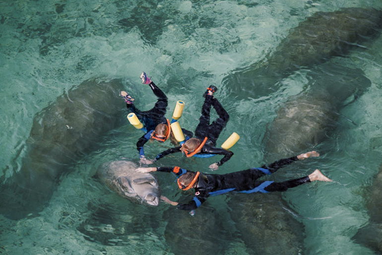 В зимнее время ламантины мигрируют вдоль побережья Флориды, где сохраняется комфортная для них температура. Одним из излюбленных мест «зимовки», которая длится с октября по март, являются воды реки Кристал-Ривер. Это единственное место в мире, где ламантинов можно не просто увидеть в их естественной среде, но и поплавать вместе с ними.