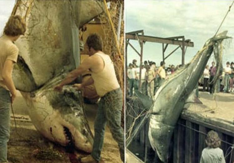 Вес акулы: неизвестен В 1983 году в сети рыбака Дэвида Маккендрика в районе острова Принца Эдуарда попалась большая белая акула. В сети угодила самка длиной 6,1 метр. Акула вошла в топ самых крупных акул, которые были измерены специалистами Центра по исследованию акул Канады.
