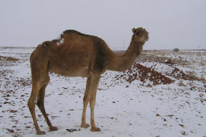 Сахара В январе 2012 года зима пришла в Северную Африку. Снегом засыпало Марокко, южные районы Алжира и даже пустыню Сахара, превратившуюся на сутки в заснеженные поля.