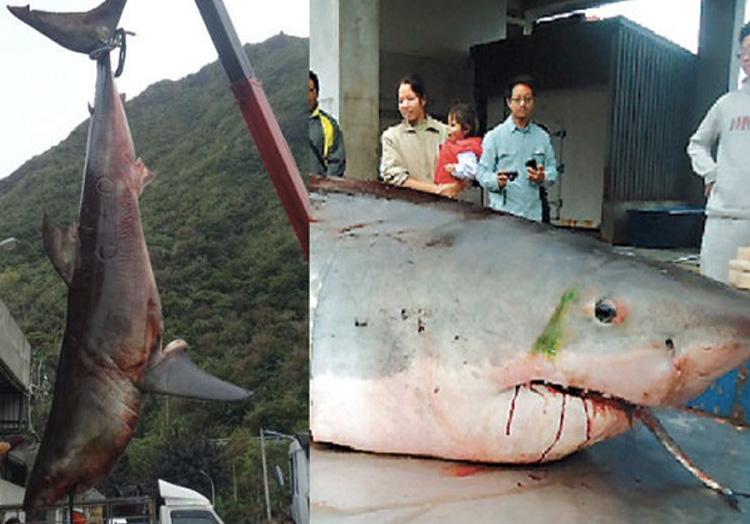 Вес акулы: 1750 кг. Усилиями 10 рыбаков в 2012 году в Тайване была поймана большая белая акула весом 1750 кг. и длиной 6 метров. Обитатель подводных глубин оказался настолько тяжелым, что рыбаки затаскивали его на борт судна целый час.